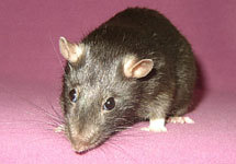 Фотография крысы с сайта www.chris.ru/rats/pages/526_jpg.htm
