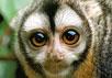 В Бразилии много диких обезьян. Ночные обезьяны с сайта www.primates.com/monkeys/nightmonk.htm